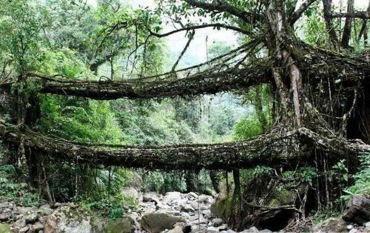living roots bridge